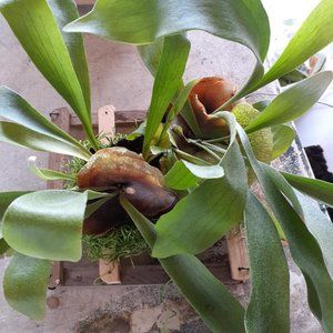 DOUBLE STAGHORN FERN ON QUALITY MOUNT